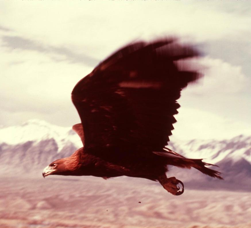 Wildlife Images photo{ } Phoenix in flight.