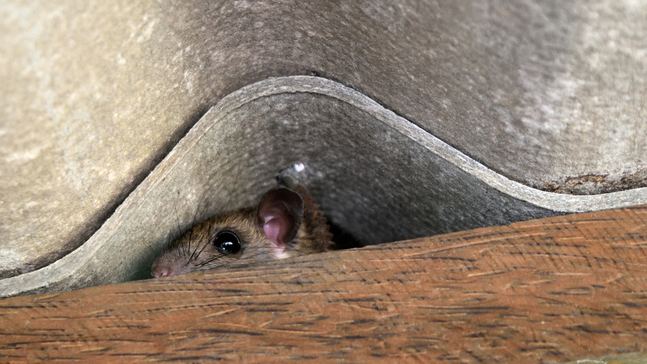 What rats do after they make it inside your home