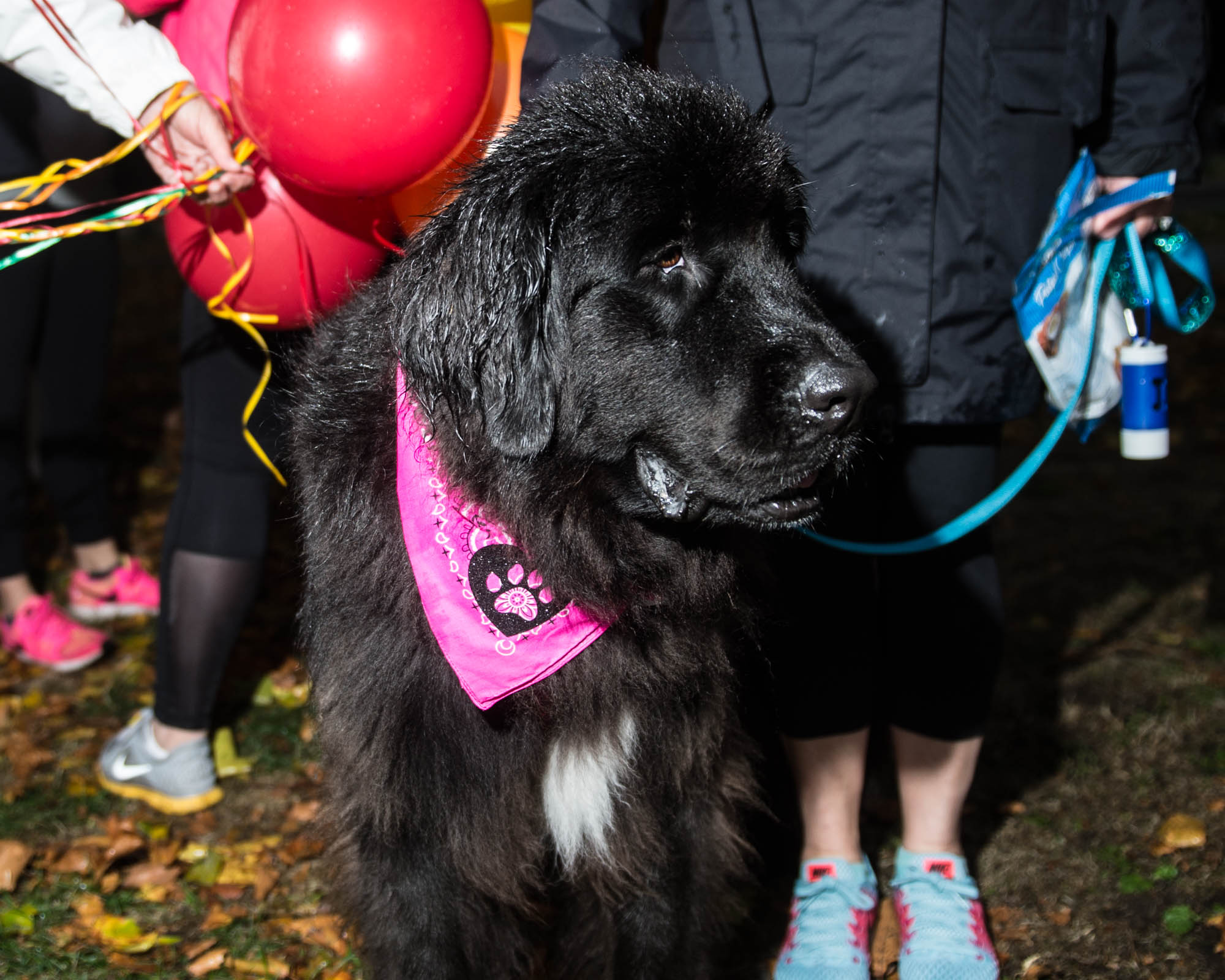 Glow In The Park brought out scores of decked out doggies and their humans to Green Lake for a lap around the park. The rain most certainly didn't stop the dogs from hitting the ground in grand fashion last night in support of the Humane Society's Disaster and Life-Saver Rescue Funds. Click on for cobwebs, pumpkins and Marvel inspired get ups galore. (Image: Chona Kasinger / Seattle Refined)