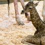 Giraffe gives birth at Woodland Park Zoo