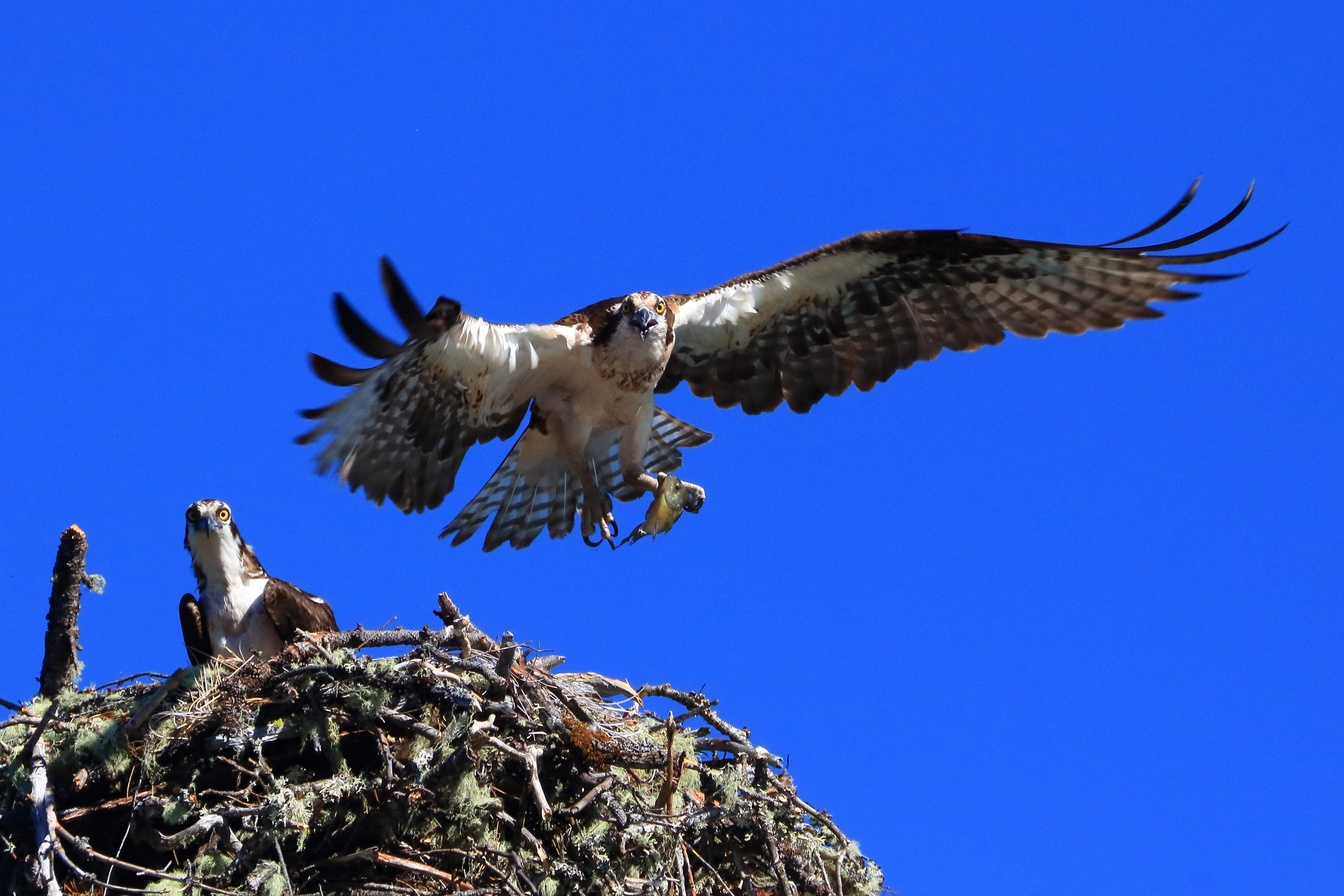 An osprey brings a fish to the nest near Lost Creek Lake. - Photo by Rick Shroy
