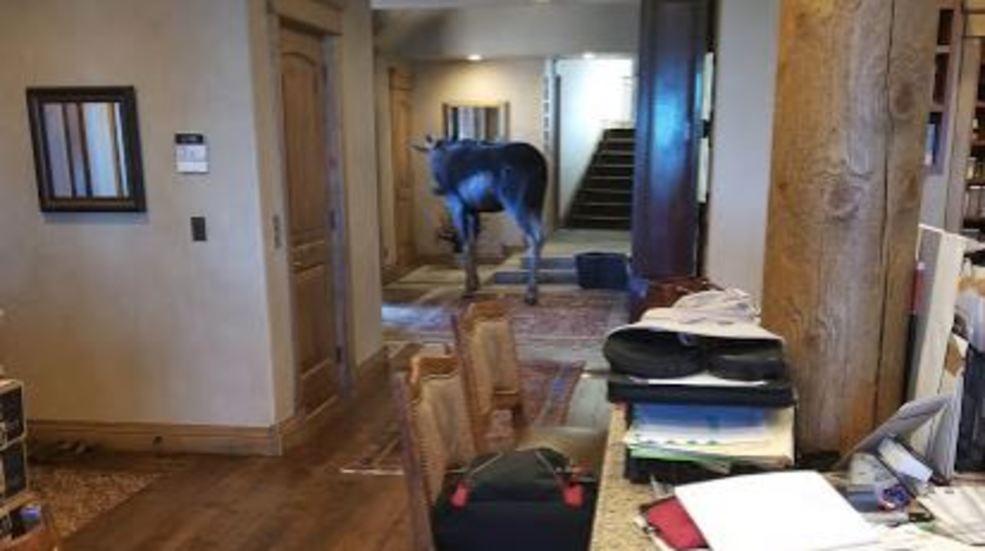 Moose Makes Himself At Home In Utah Residentu0027s Living Room