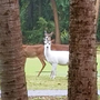 Snow-white deer appears on Edisto Island; wildlife expert weighs in