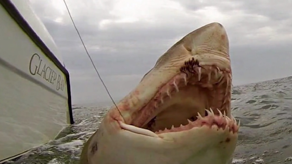 Largest Great White Shark | Hilton Head Fisherman Works To Preserve Large Number Of Great