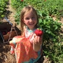 U-Pick strawberry season is here!