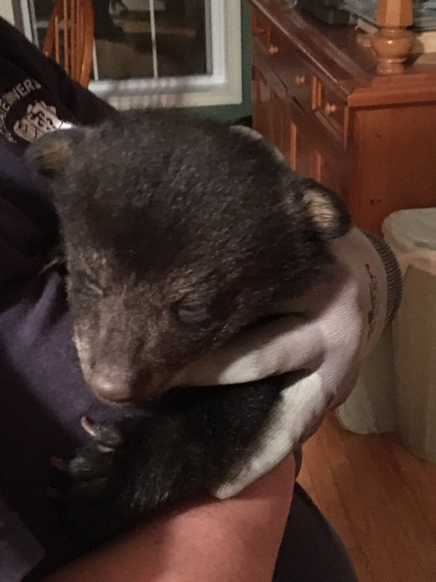 An abandoned bear cub is doing well after being found by a hiker and his dog on Easter Sunday.The cub will now be going to the Caswell Wildlife Depot for rehabilitation.Photo credit: WLOS Staff
