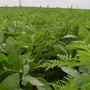 UNL research shows ragweed reduces soybean yields