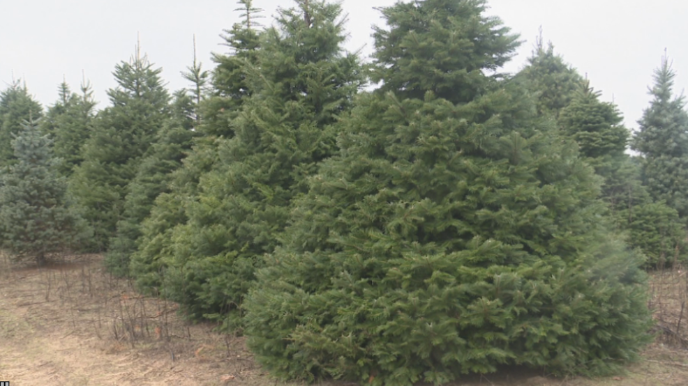 Rocking Around A Real Christmas Tree Will Cost You This Year Wwmt