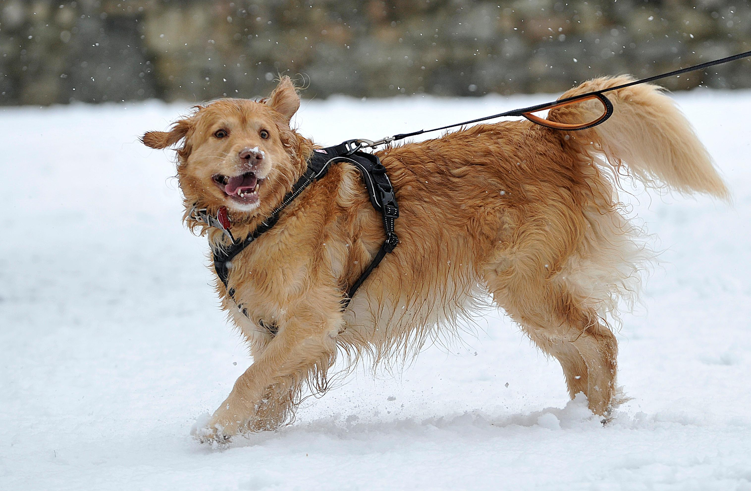 Attie, a golden retriever, takes a walk in the snow at Lithia Park in Ashland. Jamie Lusch / Ashland Tidings