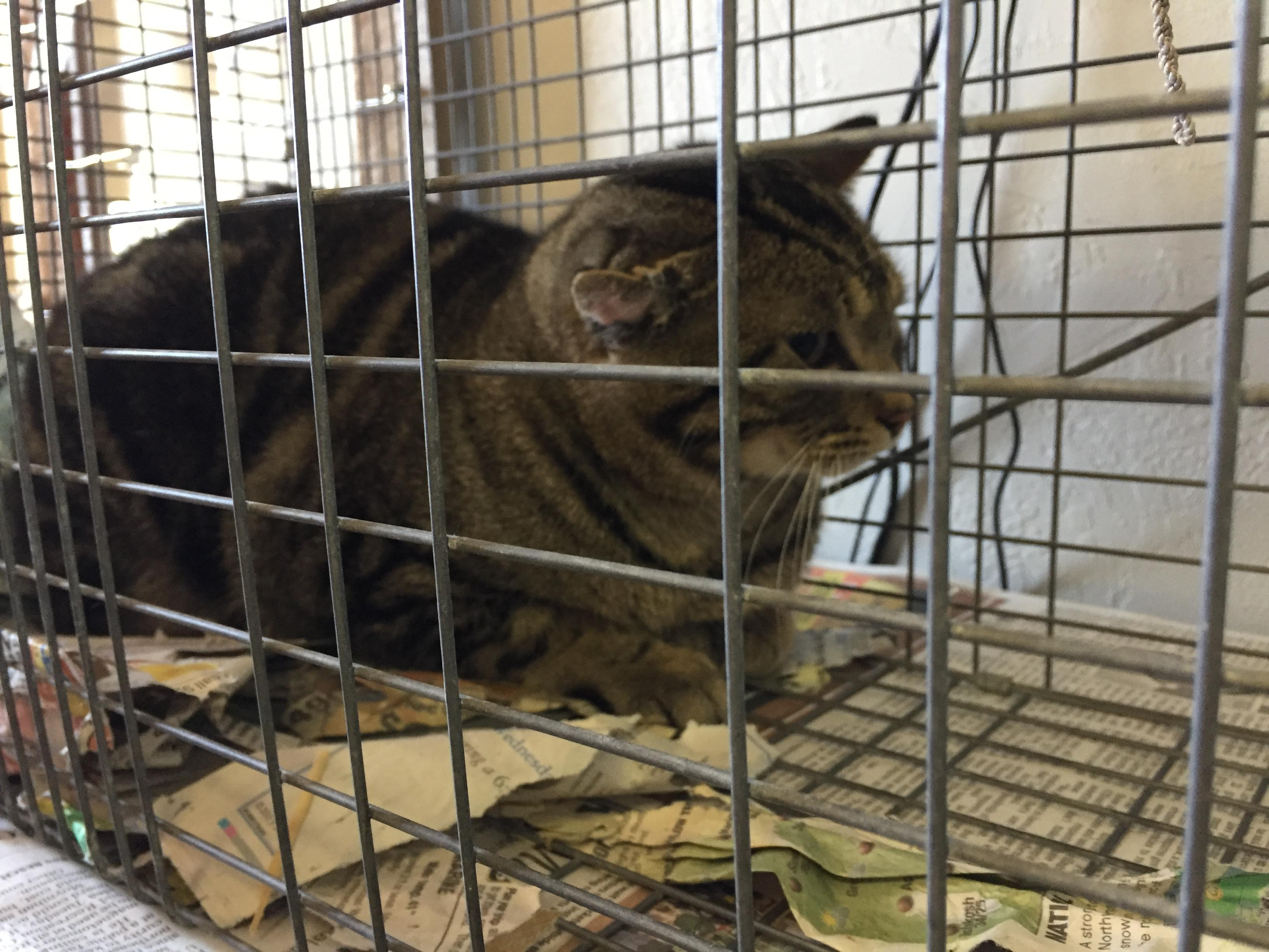 Feral cat trapped by volunteer with Cats Anonymous. It was neutered and returned to where it was caught. (Mark Leland/WLUK)<p></p>