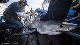 Savannah the great white shark visits Charleston coast this December