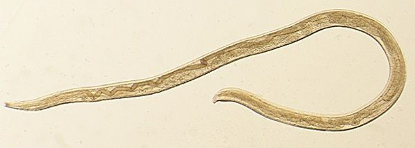 Thelazia gulosa - cattle eyeworm - Photos courtesy CDC<p></p>