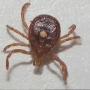 Lone star tick making its way to Michiana